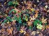 Acer macrophyllum, BIG-LEAF MAPLE and Symphoricarpos mollis, CREEPING SNOWBERRY, TRIP VINE (openspacer) Tags: acer caprifoliaceae jasperridgebiologicalpreserve jrbp leaf maple pattern sapindaceae snowberry symphoricarpos