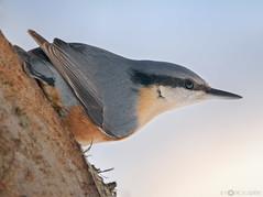 Eurasian Nuthatch (robert.vierthaler) Tags: canon eos 7dmarkii sigma 150600mm birds wildlife winter nature animals austria salzburg