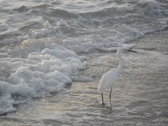 18-12-2016 Madeira Beach - 6 (s.kosoris) Tags: skosoris pentaxoptiowg1 wg1 pentax madeirabeach bird egret