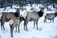 Rocky Mountain Elk (isaac.borrego) Tags: uploadedviaflickrqcom elk animals wildlife snow mountains rockymountain nationalpark colorado canonrebelt4i rockymountains estespark frontrange winter unitedstates america usa