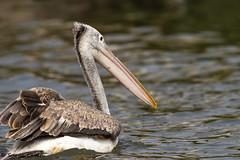 Pelican (Surya Laveti) Tags: kolleru migration india andhra pradesh jan winter