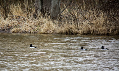 ducks from afar (Dotsy McCurly) Tags: ducks orange eyes animals woods lake water nature beautiful canoneos5dmarkiii nj 600mm handheld