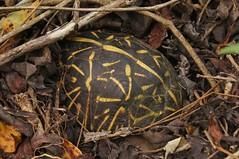 Florida Box Turtle (Terrapene carolina bauri) (Ian Deery) Tags: south florida box turtle terrapene carolina bauri boxie herp herping ian deery sony a55 1855