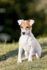 IMG_8142_web (hdenis67) Tags: annee alsace basrhin carnivores continentsetpays faune france jackrussellterrier natureetpaysage weislingen année2016 canidés fidèle lieu mammifère