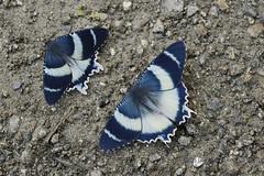 Alcides aruus (Uraniidae, Uraniinae) (Hiro Takenouchi) Tags: moths moth arfak insect indonesia nature uraniidae papua lepidoptera