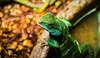 Reptar (trevorpopovits) Tags: green lizard dragon gecko animal animals reptile reptiles reptar critter creature