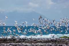 _04A8667 (Paolo_Riquelme_Quiroz) Tags: gaviotas bandada mar océano aves en vuelo antofagasta costa aire libre paisaje