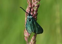 green (Hugo von Schreck) Tags: hugovonschreck widderchen moth butterfly schmetterling outdoor macro makro insect insekt green canoneos5dsr tamron28300mmf3563divcpzda010