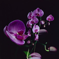 Orchid Double Exposure (Howard Sandler (film photos)) Tags: doubleexposure film orchids flowers largeformat 4x5 graflex speedgraphic pacemaker wollensak optar kodak portra
