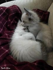Kitty hug (Marta Hyun) Tags: hug cat cats kitty kitties gato gatos adorable lovely abrazo amor love purrfect purrr fluffly animals animales precioso bonitos gat gats abraçada