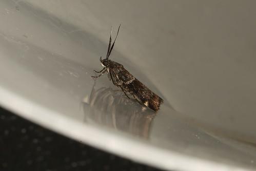 Lasiosticha canilinea