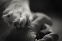 """Friends"" Haiku (MontanaRoots (aka Craig)) Tags: friends love haiku retriever golden paws"