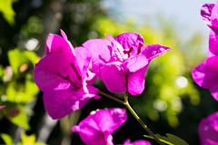 Purple bougainvilleas against green and blue. (cespadilla2) Tags: vegetation bougainvillea plant natural flowers plants nature flower colors green purple