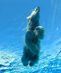 Doing the Bearpaddle (Maia C) Tags: bear blue ballet water freeassociation beautiful topv111 swimming wonderful zoo nikon niceshot underwater michigan bears lj great detroit explore polarbear memory polarbears animalplanet colbert comment detroitzoo opinion permanent stevencolbert oldglory favorited stephencolbert title2 title3 maiac title1 a1f1 abigfave scomp eliteimages