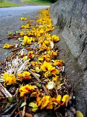 follow the yellow flowers road (wakalani) Tags: flowers flores macro yellow closeup way found olympus amarillo vistas paraiso founded encontrado olympusfe120 wakalani caminoamarillo yellowroad mirandoalsuelo masvistas utatafeature utatawiththeants