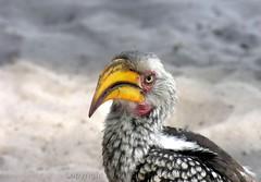 Anger (Makgobokgobo) Tags: africa bird botswana hornbill okavango southernyellowbilledhornbill tockusleucomelas okavangodelta tockus i500 santawani korwe dogcamp ng33