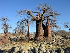 Baobab (Makgobokgobo) Tags: africa tree botswana baobab makgadikgadi adansonia lekhubu kubuisland suapan makgadikgadipans adansoniadigitata