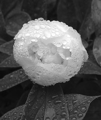 Mourning Rain (Tyler Stone) Tags: pictures flowers winter cambridge blackandwhite bw plants white ontario canada black flower macro nature water beautiful beauty rain thanks composition contrast digital wow wonderful landscape ilovenature photography photo interestingness spring amazing fantastic pretty published niceshot seasons mourning gorgeous topc50 great favme poetic loveit greatshot pro forms topv777 500views portfolio lovely capture 10fav incredible botanicals speechless 1on1 continuum aesthetics featured 900views topvaa 888v8f fasl 250v10f 20commentsandup photolicious tylerstone artofphotography flickrelite promembers