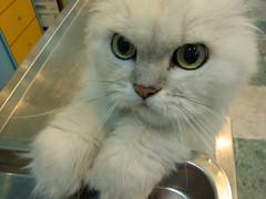 Show repentance (jacky elin) Tags: cats female cat sweet mimi chinchilla 貓 200603 罰站