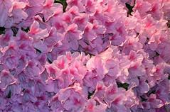 Philadelphia Flower Show - 2006 (worleyx) Tags: pink flowers flower philadelphia blossom blossoms cherryblossoms blooms flowershow worley philadelphiaflowershow flowersshow worleyx