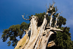 St. Francesco's Cypress (Serrano77  BIG Papa......) Tags: blue sky tree nature colors saint digital canon eos natural 2006 rimini cypress tradition polarizer assisi emiliaromagna stfrancisofassisi serrano77 verucchio marcomontanari