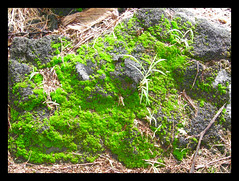 and green moss (eye of einstein) Tags: green hawaii wifi afterrain myfrontyard nikoncoolpixp1 briefsunshine iliveonrock