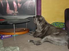 Ursa Minor 045 (Brian Mars) Tags: mastiff ursa neopolitan