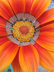Treasure Flower (Gazania)