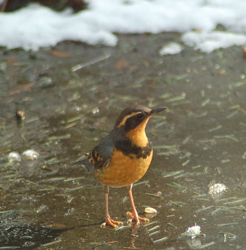 Varied thrush getting some sun while the snow melts