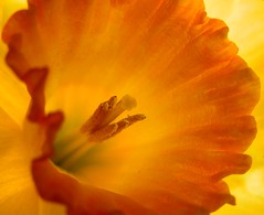 Daffodil, Daffodil....Let Me In (taylorkoa22) Tags: flowers orange newmexico flower color macro floral yellow garden colorful pretty close bright albuquerque olympus daffodil abq marc botanic 300 nm botanicals 300v c765 marcgutierrez