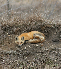 ...Twentieth Century Fox... (Random Images from The Heartland) Tags: nature animal southdakota ilovenature wildlife fox foxes inthewild bail56 randomimagesfromtheheartland