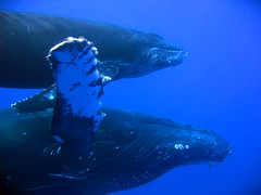 Humpback Whale Cow and Calf (bluewavechris) Tags: ocean blue sea eye water mouth mammal hawaii diving sealife maui snorkeling whales seacreatures marinelife underwaterphotos reeflife oceananimals thatsclassy