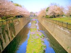 cherry river (Switch9i) Tags: pink tree green river cherry