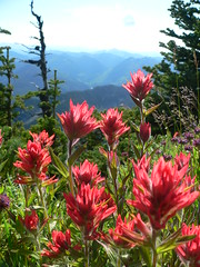Indian Paintbrush Washington Cascades