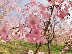 Sakura,Sakura,Sakura (Junk8d) Tags: pink flowers flower topf25 topv111 japan