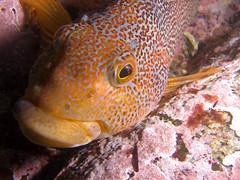 Female Kelp Greenling (Optical Ocean) Tags: canada marine underwater britishcolumbia pacificnorthwest scubadiving