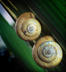 A Pair Of Snails (Louis Dobson (formerly acampm1)) Tags: shells wonderful snail snails inthegarden