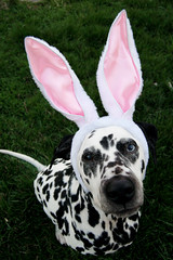 Quincy, the Easter Bunny (Jocelyn Bassler) Tags: dog bunny topv111 easter quincy interestingness top20animalpix topv333 jocelyn ears explore top20dogpix dalmatian jocie top20cute jocieposse
