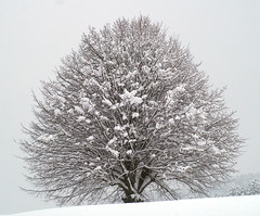 LONE TREE (Bill Liao) Tags: leica light snow storm tree art digital switzerland bill 500v20f australian explore views noctilux liao appenzell 1000views rd1 billliao bestwork set worthabrowse bwbliao pfosilver 1000 1000viewsset explore weforest