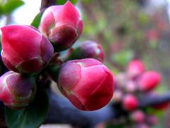 (Red Flower Bud) (Walnutist) Tags: red flowerbud