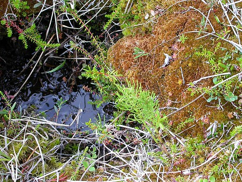 Sphagnum moss, sundew, & other plants in the muskeg of the Alaska boreal forest: A teensy part of the biosphere