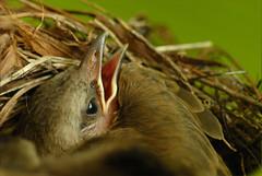 Read my lips... (bocavermelha-l.b.) Tags: nesting mountfaber insingapore yellowventedbulbul pycnonotusgoiavier foundinmountfaber south–china–sea inthenest babybulbul babybirdsinthenest mi–im