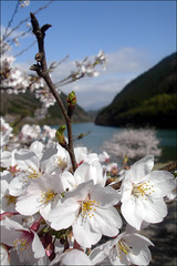 Sakura \(^-^)/ (mboogiedown) Tags: travel sky mountains flower fall nature japan river cherry asian ilovenature interestingness spring asia haiku traditional blossoms culture   sakura cherryblossoms nippon buds tradition burst  kita gaze    gifu   nihon hanami sora cultural ena yama haru  chubu bunka   cherryblossomviewing yokoso kiso  mapjapan kisogawa  interestingness344 i500  yokosojapan kitachu chugakkou 41606    springbudsburstandsoigazeblossomsfallandsomydays~basshohaikumaster