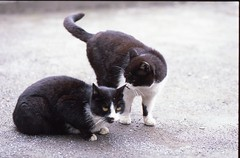 whispering / mimi-uchi (rahen z) Tags: cats cat iso100 tokyo whispering olympus outoffocus neko  90mm zuiko om1 olympusom1 provia100f streetcat reversal confidentialtalk nyanko tonguecat japanesecat  fujichromeprovia100f rdpiii   90mmf2macro zuiko90mmf2macro