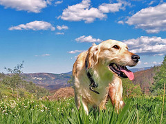 Top model (isolano.) Tags: blue sky cloud dog mountain green field grass goldenretriever retriever highfive amateurs abeauty amateurshighfive invitedphotosonly onlythebestare