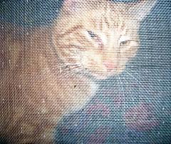 (cort211) Tags: orange pets window animals cat catsandwindows