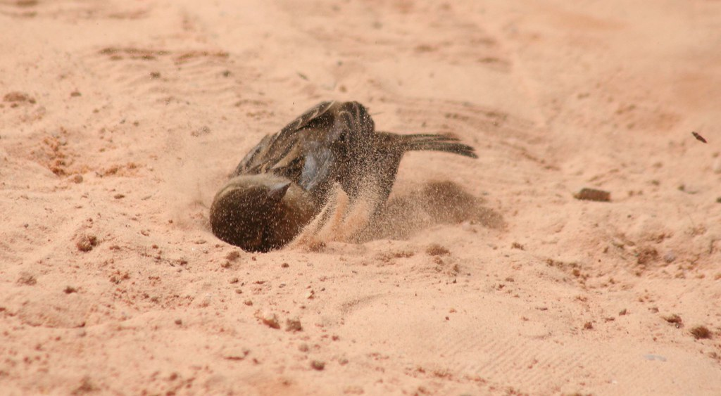 Pardal (Sparrow) 28 044 - 11