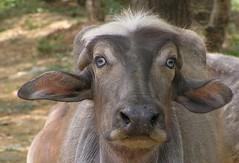 Water buffalo (tomato umlaut) Tags: india topv111 village waterbuffalo pench notpicked