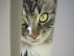 sunnas pretty face.. (arny johanns) Tags: pet beautiful canon eyes furry pretty sweet gray kitty norwegian awww pinkno