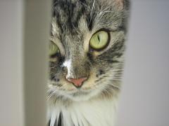 sunnas pretty face.. (arny johanns) Tags: pet beautiful canon eyes furry pretty sweet gray kitty norwegian awww pinknose kisa köttur ixus50 sunna forestcat catsandwindows